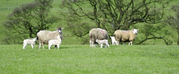 Post-lamb ewe management_2