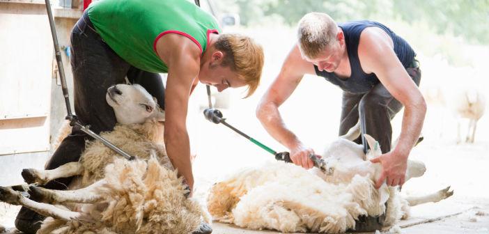 sheep_shearing