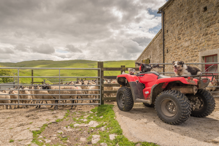 Sheepdog,On,The,Back,Of,A,Quad,Bike,Looking,At