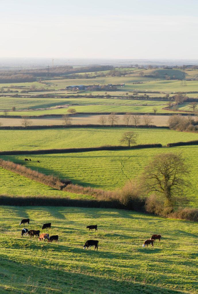 Cattle,Farming,In,A,Uk,Countryside,Scene,,Farmland,With,Fields